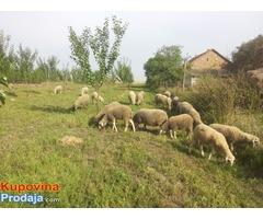 Ovce i guske na prodaju