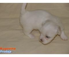 Coton de Tulear-mali štenci oba pola