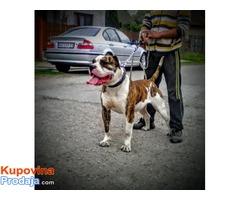 Američki Buldog muško štene