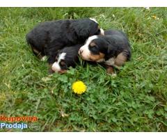 Ženke bernskog planinskog psa - štenci