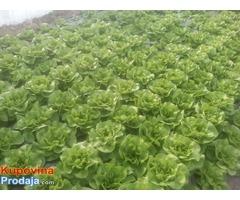 Prodaja zelene salate