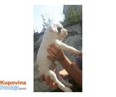 Američki Buldog - prvobirano muško štene