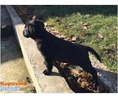Labrador, crni štenci