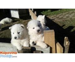 Samojed, štenci
