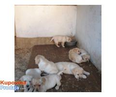 Labradori, vrhunska stenad