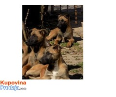 Na prodaju Belgijski ovčari Malinoa - Kraljevo