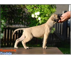 Bullmastiff stenci na prodaju