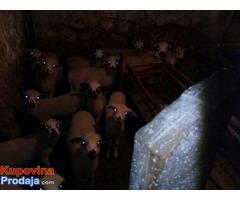 Umaticena jagnjad