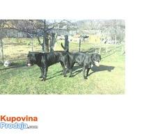 Prodaja stenadi cane corso
