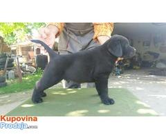 Labrador retriver, stenci