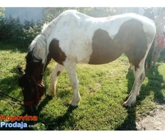 Kobila, zdrebe i krava