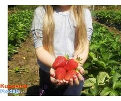 Sadnice jagoda
