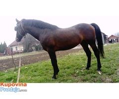 Nonius, pastuv i kobila