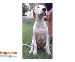 Dogo Argentino, muško prvobirano štene