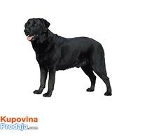 Labrador retriver slobodan za parenje,besplatno