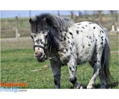 Setland poni