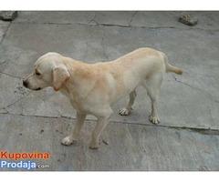 Labrador, muzjak i zenka
