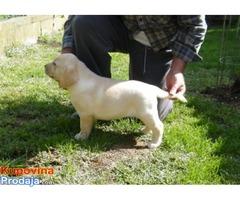 Labrador, vrhunsko leglo
