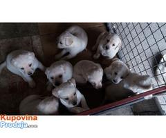 Labrador stenci bele boje