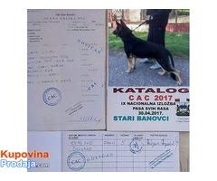 Na prodaju muško štene nemačkog ovčara radna linija staro tri ipo meseca, vakcinisano i revakcinisan