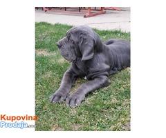 Napuljski Mastif, muško štene