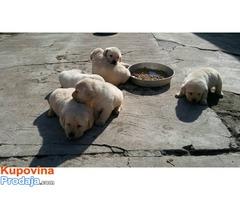 Labrador, stenci
