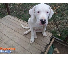Dogo Argentino, muska stenad