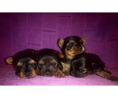 Jorkširški terijer, štenci na prodaju
