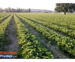 Sadnice jagode