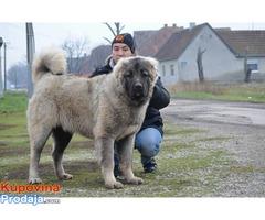 Kavkaski ovcar mlad muzjak
