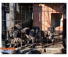 DOGO CANARIO Stenci izlozbenog kvaliteta
