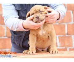 Zenkica BORDOSKE DOGE - stara 3 meseca