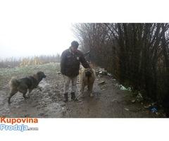 Kavkaski ovcar, zensko stene