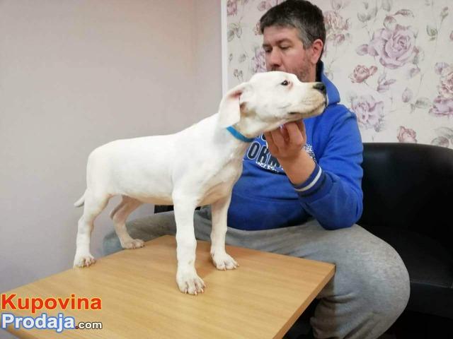 Dogo Argentino stenci