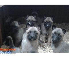 Belgijski ovcar MALINOA stenci