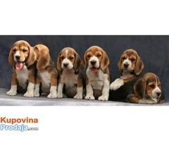 Bigl štenci za kućnog ljubimca