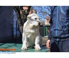 Na prodaju stenci srednjeazijskog ovcara
