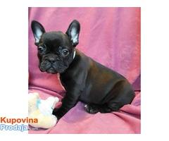 Francuski bulldog,prelepi crni stenci