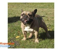 Francuski bulldog priplodni muzjak