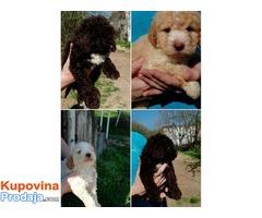 LAGOTO ROMANJOLO - stenci i odrasli psi