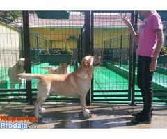 LABRADOR RETRIVER, vrhunski odrasli psi