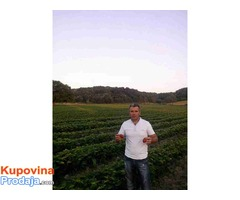 Prodaja sadnica jagoda