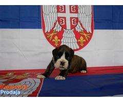 Nemacki bokser, stenci izlozbenog potencijala