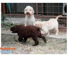 Lagoto ROMANJOLO stenci i odrasli psi
