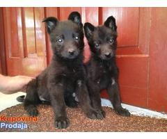 NEMAČKI OVČAR - crni i srebrni štenci