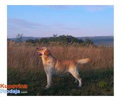 LABRADOR RETRIVER vrhunski odrasli psi