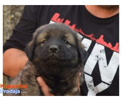 ŠARPLANINCI - štenci vrhunske genetike