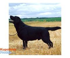 Labradori, vrhunsko leglo