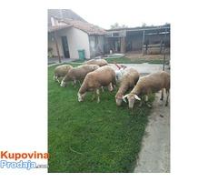Prodajem sedam ovaca i ovna rase VITEMBERG