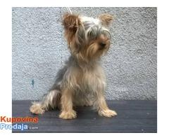 YORKSIRSKI TERIJER - odrasli psi